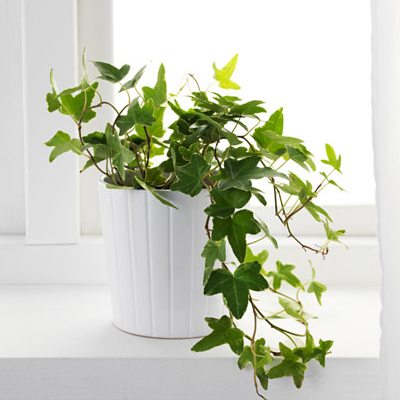 rezvanflower papital english ivy plant